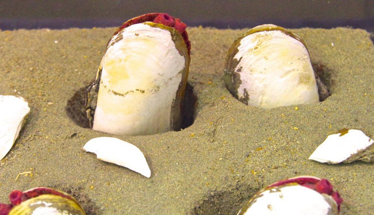 シロウリガイの展示