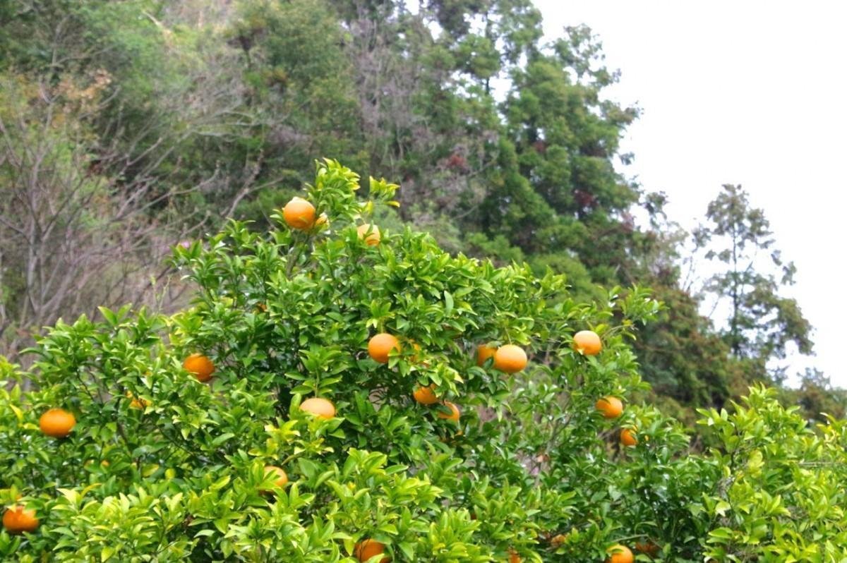 柑橘イメージ