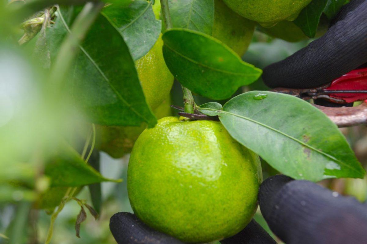 ぶしゅかんの果実