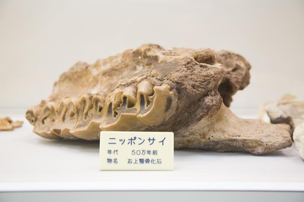 サイの化石