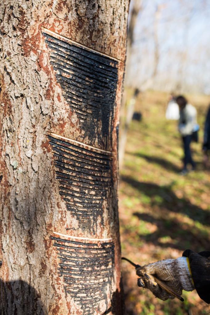 漆の木の印