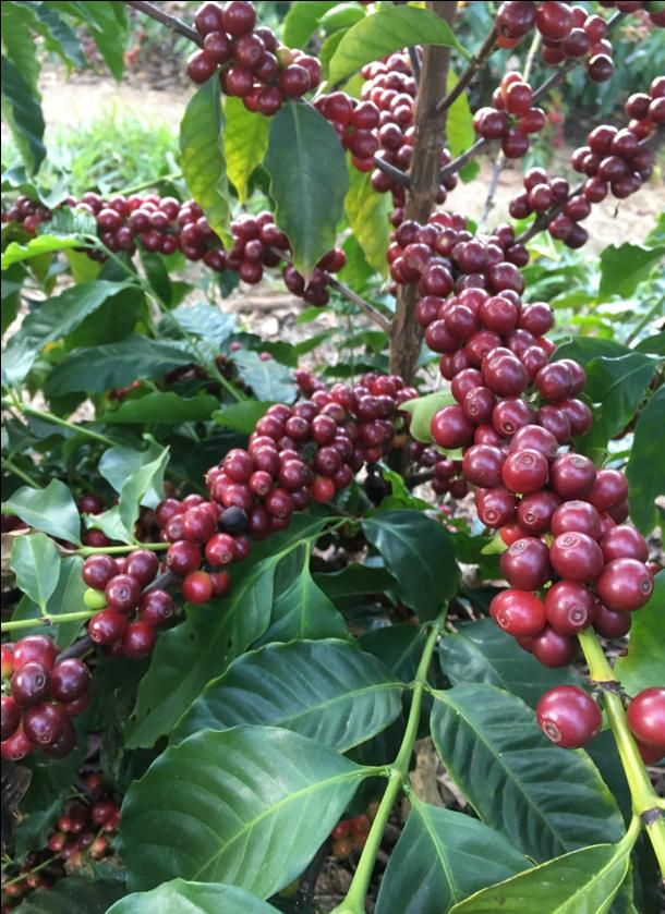 コーヒーの果実